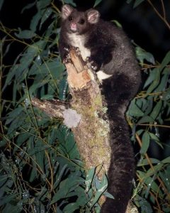 Greater Glider (Justin Cally)
