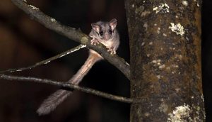 Leadbeater's Possum (Tim Bawden)