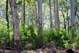 Lewin Forest (WAFA)