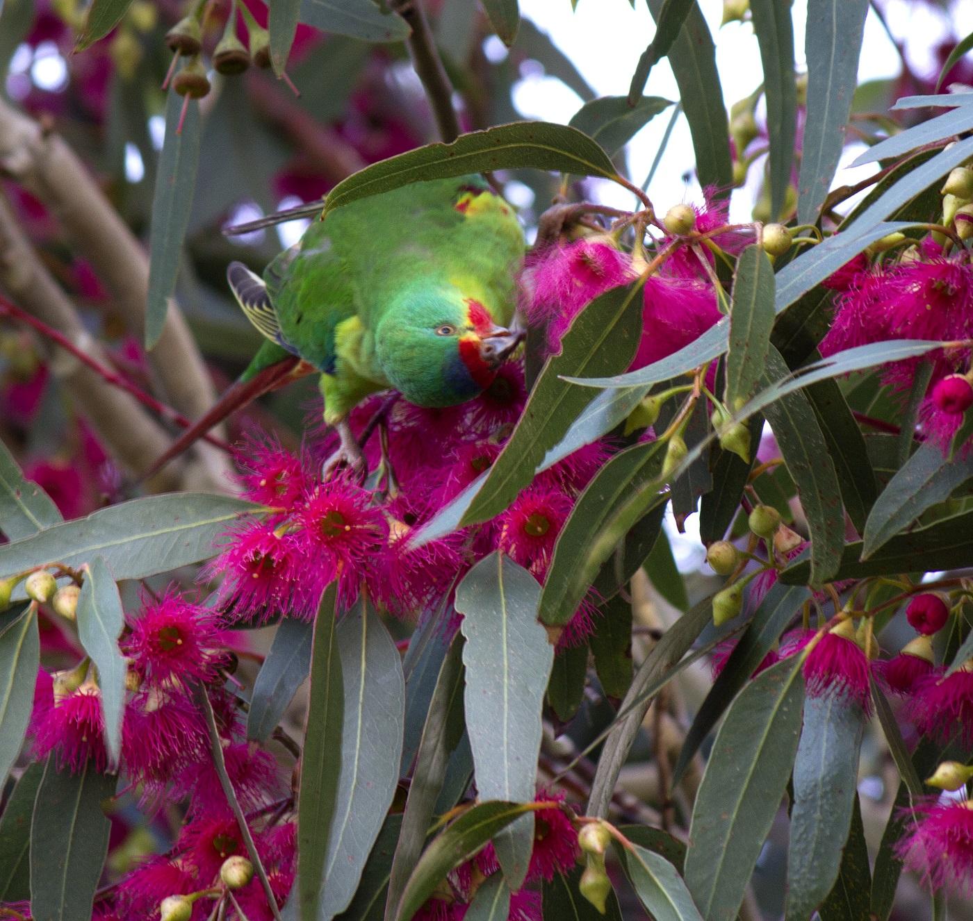 Swift Parrot, Judith Deland