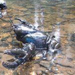 Giant Freshwater Crayfish, Todd Walsh